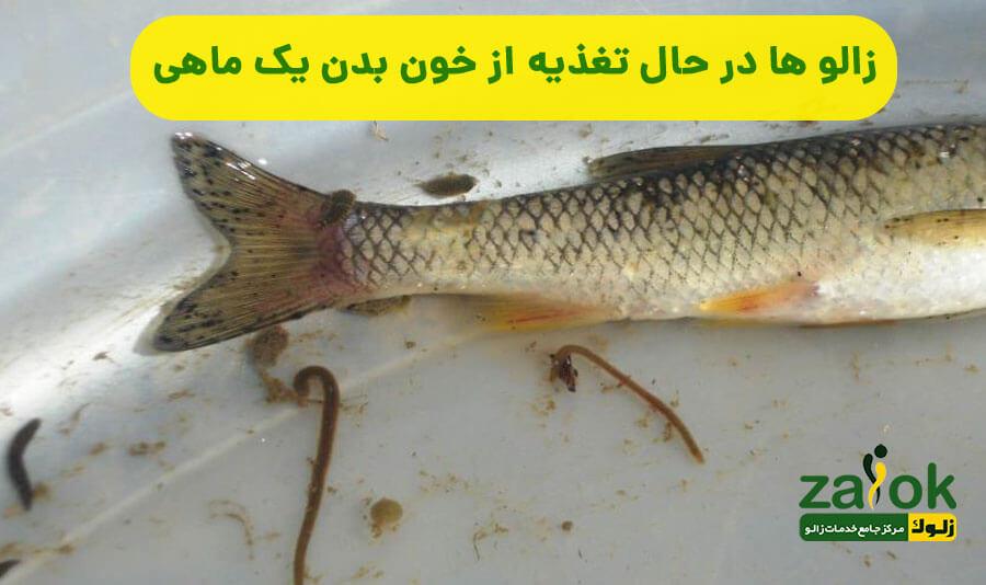 تغذیه زالو از خون بدن ماهی