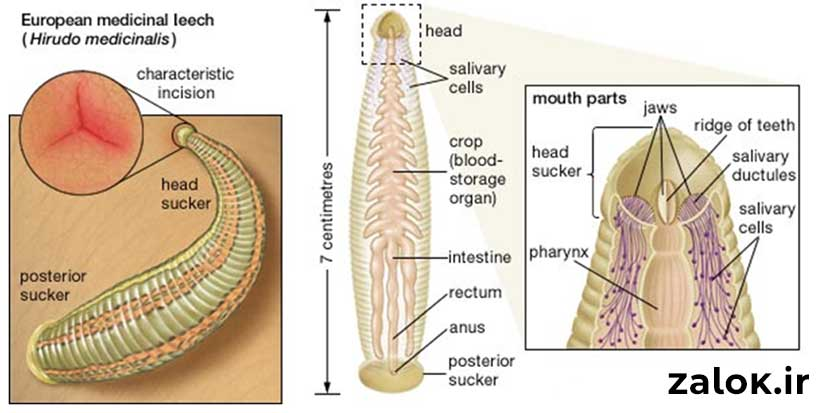 جزئیات بدن زالو ها