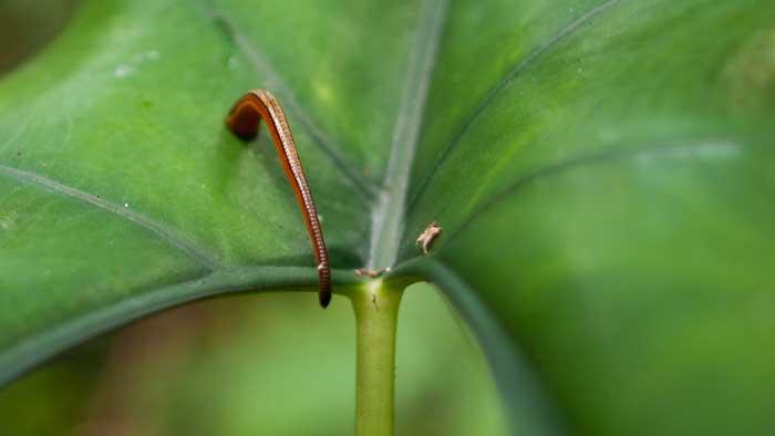 گیاه طبیعی ویژه تغذیه زالو